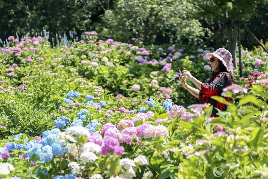 上海:萬余株八仙花盛開 美景醉游人2.jpg