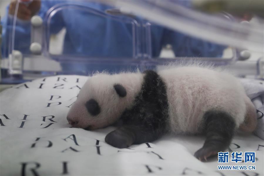 旅比大熊猫幼仔满月4.jpg