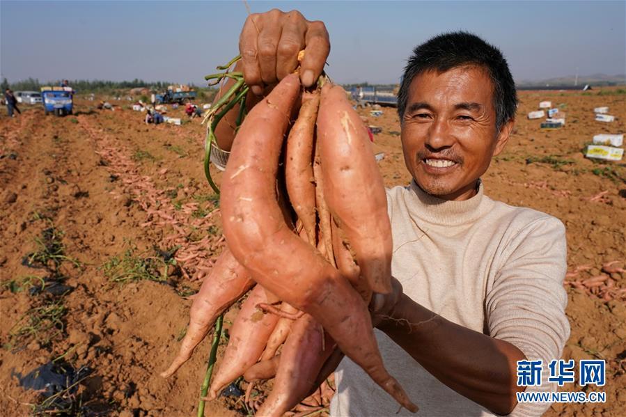 """河北盧龍:""""紅薯狀元""""土里刨出富裕路.jpg"""