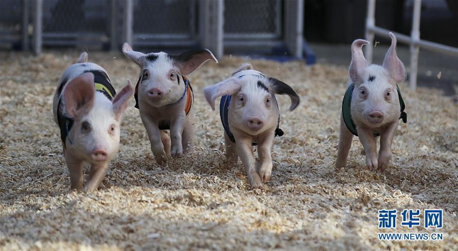 (体育)(3)小猪赛跑