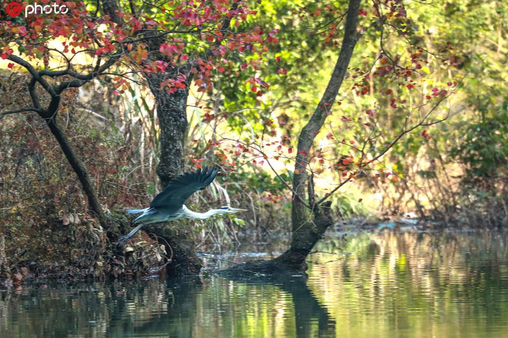 三峽庫區成珍稀鳥類棲息地 各種鳥自由飛舞