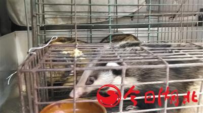 海寶灣水產市場內,弘記農副產品店店主面包車后藏有野生豬獾和土撥鼠