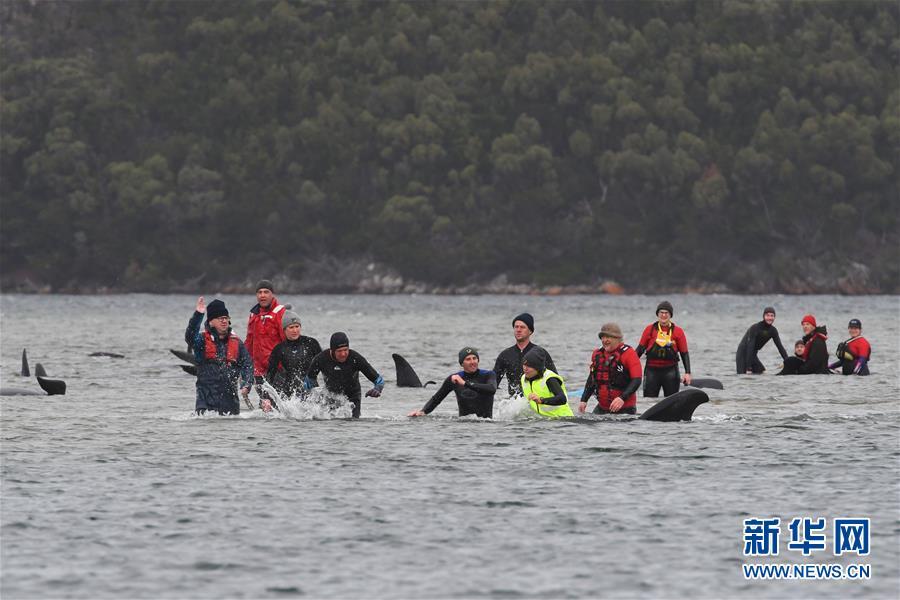 (国际)(1)澳大利亚塔斯马尼亚州西海岸发生大规模鲸鱼搁浅